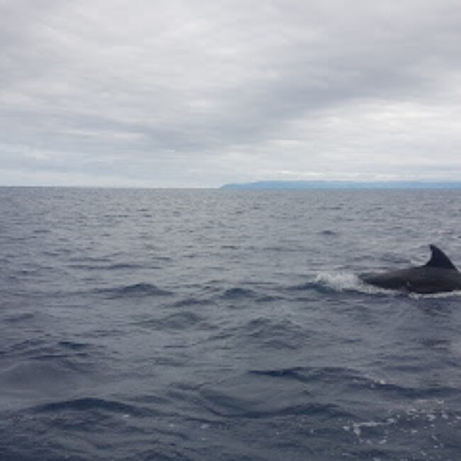 Dive Azores . Whale Watching